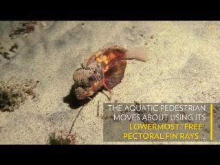 На Бали засняли неизвестную рыбу, которая ходит на «ножках» [Рифмы и Панчи]