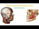 Мышцы головы мимические жевательные