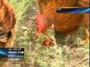 В Китае с помощью кур борются с саранчой