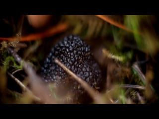 Поиск черного трюфеля под Геленджиком.