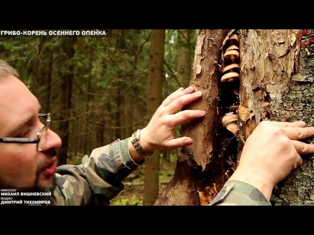 Грибо корень осеннего опенка убийцы леса
