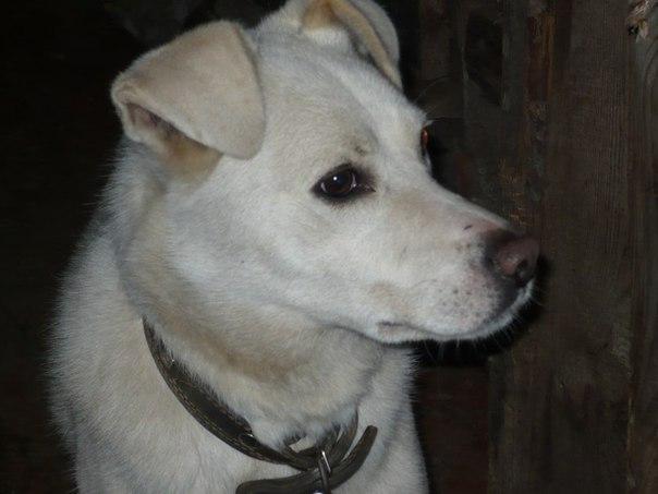 S.O.S!!! Пропала собака! 10 марта оторвался с привязи и убежал пёс (по