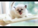 Котята Свяшенная Бирма 2016 питомник кошек Kittens Sacred Birma