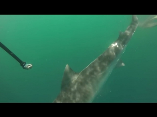 Битва: Тигровая акула против Акулы-молота