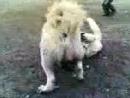 Бои собак