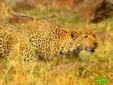 BBC: Мир природы. Невидимый леопард