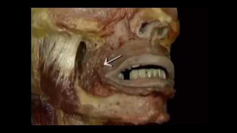 Видеоатлас Акланда. Фильм 5. Анатомия головы и шеи