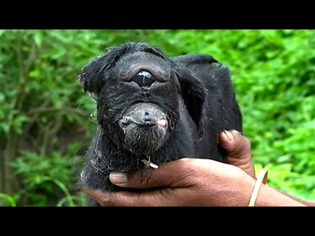 India's Cyclops Baby Goat