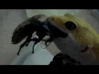 Бичара кушает мадагаскарского шипящего таракана
