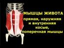Мышцы живота Анатомия Биомеханика Упражнения