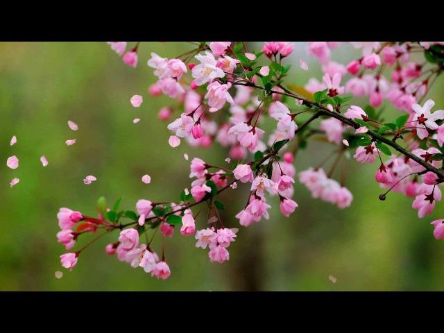 Цветение Футаж весенний HD