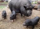 Видео рассказ о вьетнамских свиньях