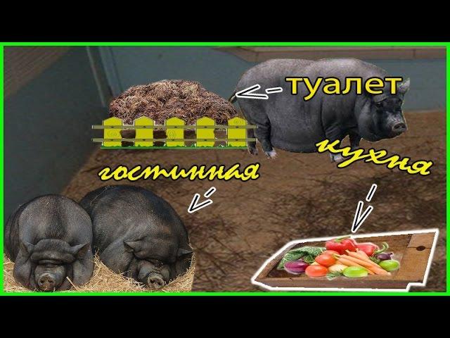 Чистоплотность вьетнамских свиней Какашки Выясняем насколько чистоплотны Вье