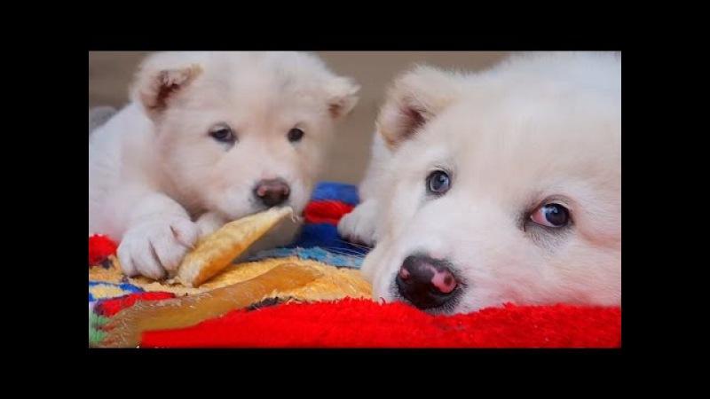 WHITE BEAR. БЕЛЫЕ МИШКИ. Щенки Алабая 49 дней. Puppies Alabai 49 days. Odessa.