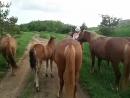 Прекрасные, добрые, свободолюбивые лошади!