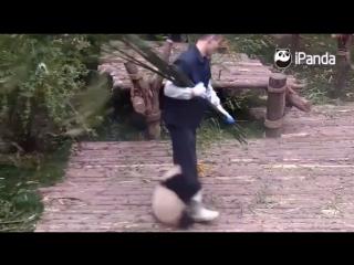 Детёныш панды пристаёт к работнику питомника