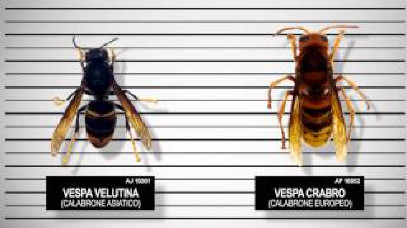 Шершень Vespa velutina