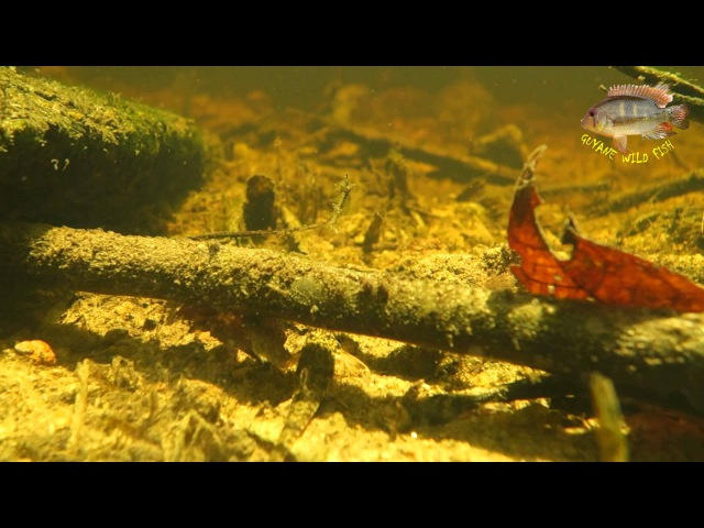 Cichlids and plecos in a small stream of French Guiana