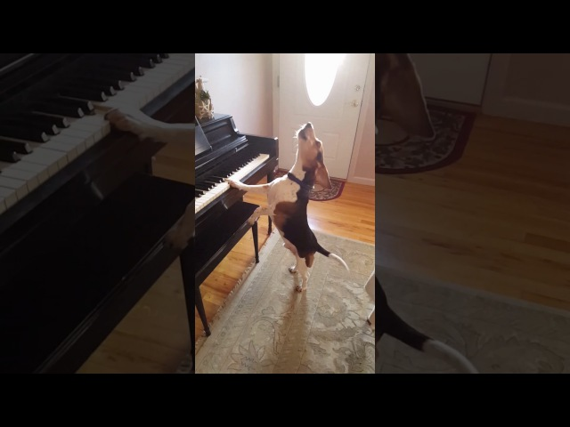 Buddy Mercury Sings! Funny and cute beagle who plays piano!