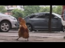 Funny: Rooster walks upright like a penguin