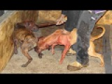 Pitbull Dog fighting Undercover (Bad Ownership) - Documentary!!!