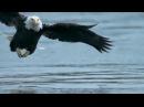Белоголовый орлан ловит рыбу