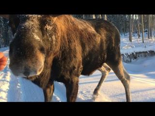 В наших лесах живёт добрый и вежливый лось.