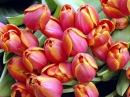 ТЮЛЬПАНЫ (клип) Не уходи, побудь со мною Наталия Муравьева Лучшие русские романсы Tulips