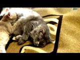 Видео о кошках. Котёнок сосёт мать