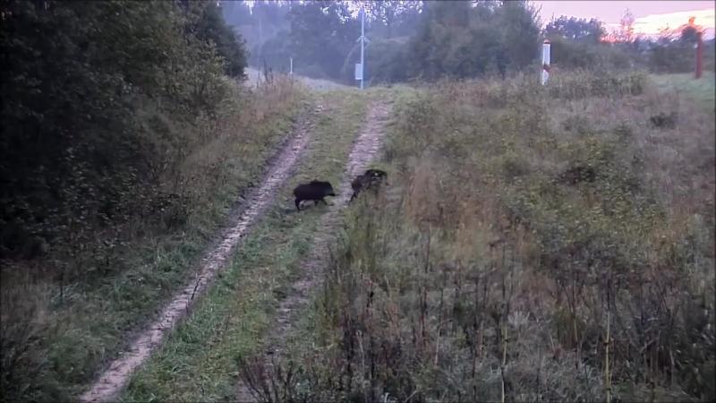 Кабаны-нелегалы пробрались через литовскую границу в Беларусь