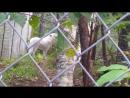 В мире животных. Арктический волк