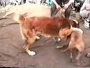 [v-s.mobi]Собачьи бои алабай из питбуль.272p