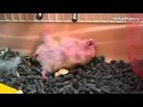 Funny Hamsters Playing Dead After Finger Shot Compilation  Funniest Hamster Video Ever