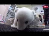 Polar bear Nora