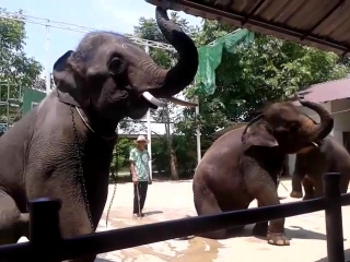 Тайланд. Май 2017. Слоны танцуют под Gangam Style))