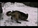 Алабай VS алабай mix волк (Собачьи бои, wolf, Alabai)