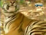 обезьяна и два тигра