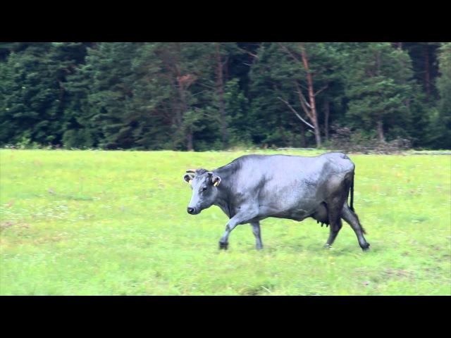 Zilās govis. Proza