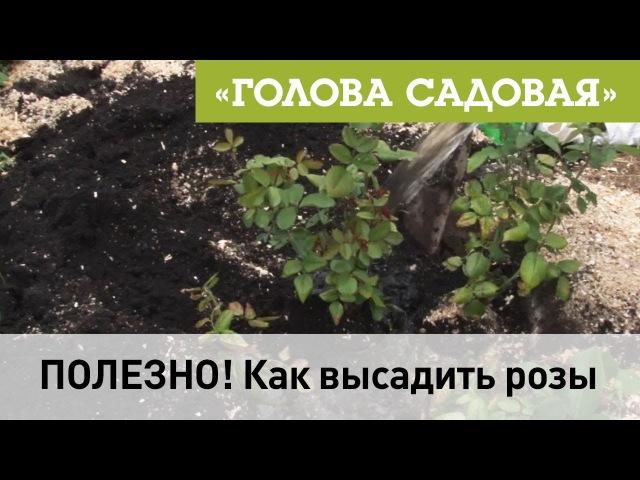 Голова садовая - ПОЛЕЗНО! Как высадить розы