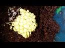 Шок Африканская улитка Ахатина ретикулята альбино Кладка яиц