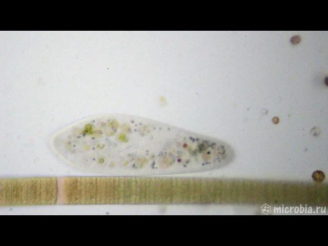 Paramecium caudatum / Инфузория туфелька