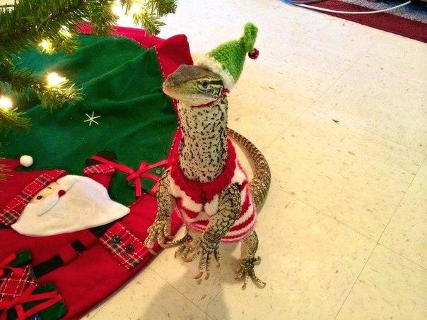 #fansofreptiles #рептилии #игуаны #террариум #ящерицы  А вы тоже будете наряжать своих рептов в новогодние костюмчики?)
