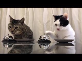 Дрессированные японские коты