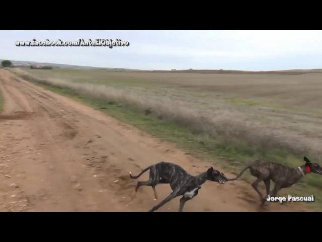 Гончие против зайца полный пиздец