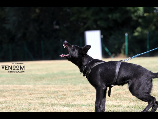 Gringo Lobo Grande - short obedience protection