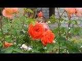 Кременчуг. Сад роз в центре города. Часть II