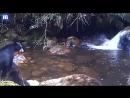 Мама-медведица переводит детеныша через реку