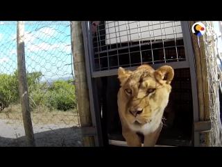 Эмоции животных, которые вышли на свободу из цирка _ Русские субтитры HD