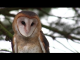 Silent Flight conserving the barn owl