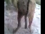 алабай против ишака